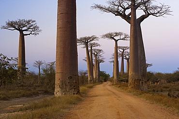 Baobab trees, Madagascar, Baobab Alley, Madagascar