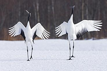 Japanese cranes upright, spreading their wings and preening on a frozen lake in Hokkaido, Japan, Hokkaido, Japan
