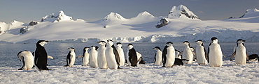 Chinstrap penguins on Half Moon Island, in the South Shetland Islands, Antarctica, Half Moon Island, South Shetland Islands