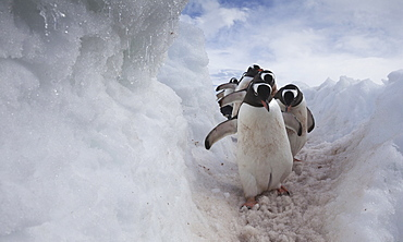 Gentoo penguins using a well worn pathway through the snow, to reach the sea. Antarctica, Antarctica