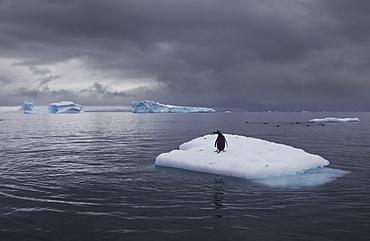 Gentoo penguin on an iceberg, Antarctica, Antarctica