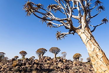 A quiver tree forest near Keetmanshoop, Namibia