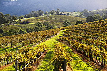A vineyard in New South Wales, Australia
