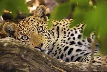 A leopard in the wild, Okavango Delta, Botswana