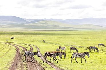 Zebras in the Ngorongoro crater in the Serengeti, Tanzania, Africa
