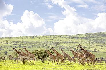 Giraffes in the Ngorongoro crater in the Serengeti, Tanzania, Africa