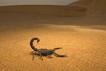 A black scorpion in the desert sand, Africa