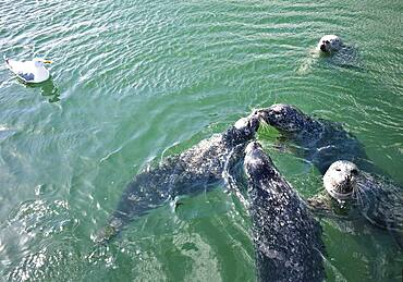 Seals in the water
