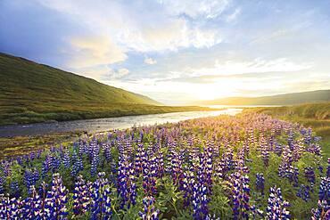 Flowering Alaska lupines near Heydalur, northern Westfjords, Iceland, Europe