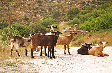 Goats on dirt track in Crete, Greece