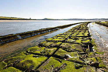 An oyster farm in Rock (Cornwall, England)