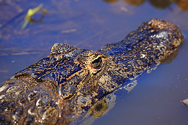 Yacare Caiman (Caiman Yacare) in the Pantanal, Mato Grosso, Brazil, South America