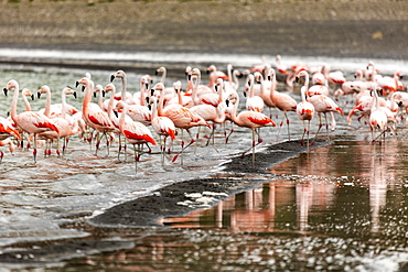 Chilean flamingos (Phoenicopterus chilensis) in Torres del Paine National Park, Patagonia, Chile, South America
