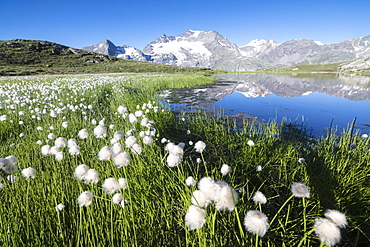 Cotton grass frames snowy peaks reflected in water, Val Dal Bugliet, Bernina Pass, Canton of Graubunden, Engadine, Switzerland, Europe