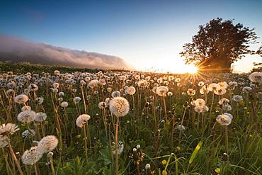 Green meadows of dandelions framed by the midnight sun, Fredvang, Moskenesoya, Nordland county, Lofoten Islands, Norway, Scandinavia, Europe