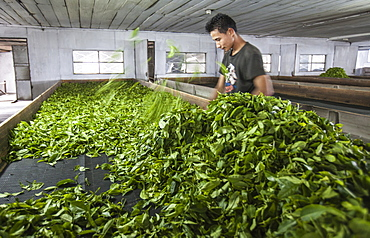 A worker lays tea leaves just weighed on the huge sieves in which they will be left to dry naturally for a few days, Darjeeling, India, Asia
