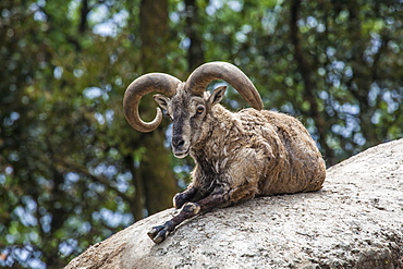 Typical goat of northern India rests on a rock in the sun in a wildlife reserve, Darjeeling, India, Asia
