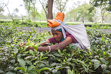 Woman collecting tea leaves, hard work as it is very difficult to disentangle the thick bushes, Bagdogra, Darjeeling, India, Asia