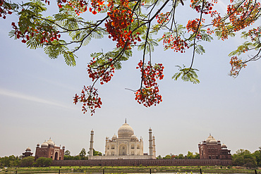 Branches of a flowering tree with red flowers frame the Taj Mahal symbol of Islam in India, UNESCO World Heritage Site, Agra, Uttar Pradesh, India, Asia