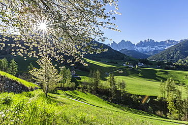 Flowering frames the village of St. Magdalena and the Odle group, Funes Valley, South Tyrol, Dolomites, Italy, Europe