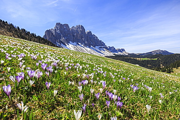 Flowers bloom on the meadows at the foot of the Odle, Malga Gampen, Funes Valley, South Tyrol, Dolomites, Italy, Europe