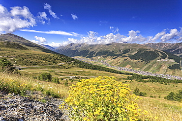 Summer flowers, Minor Valley, High Valtellina, Livigno, Lombardy, Italy, Europe