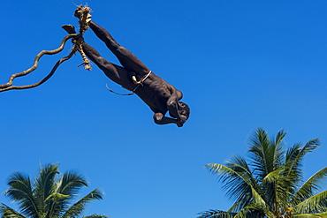 Man jumping from a bamboo tower, Pentecost land diving, Pentecost, Vanuatu, Pacific