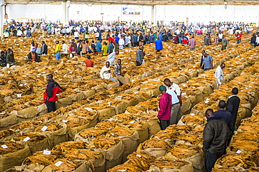 Tobacco auction in Lilongwe, Malawi, Africa