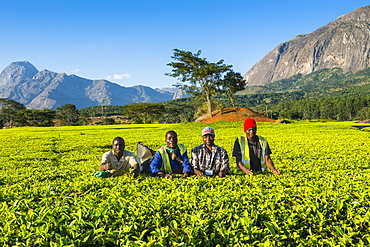 Tea pickers on a tea estate on Mount Mulanje, Malawi, Africa