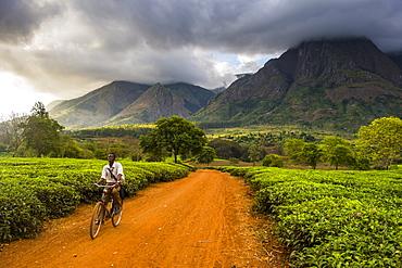 Tea picker on his way through a tea estate on Mount Mulanje, Malawi, Africa
