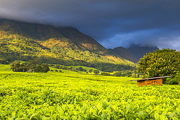 Tea estate on Mount Mulanje, Malawi, Africa