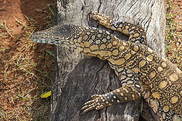 Lace Monitor (Varanus varius), Lone Pine Sanctuary, Brisbane, Queensland, Australia, Pacific