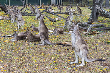 Kangaroos (macropods), Lone Pine Sanctuary, Brisbane, Queensland, Australia, Pacific