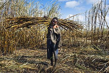 Sugar cane cutter in the burned sugar cane fields, Nchalo, Malawi, Africa