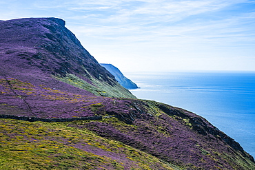 Blooming flowers on the west coast of the Isle of Man, crown dependency of the United Kingdom, Europe