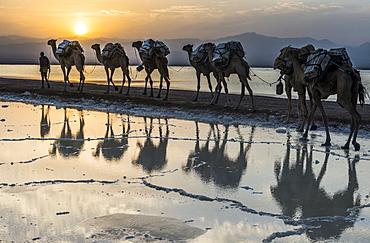 Camels loaded with pans of salt walking through a salt lake, Danakil depression, Ethiopia, Africa