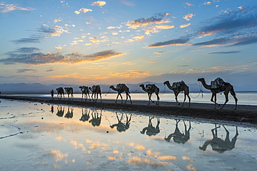 Camels loaded with pan of salt walking through a salt lake at sunset, Danakil depression, Ethiopia, Africa