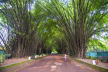 Bamboo forest in Abidjan, Ivory Coast, West Africa, Africa