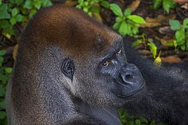 Western lowland gorilla (Gorilla gorilla gorilla), Limbe wildlife centre, Cameroon, Africa
