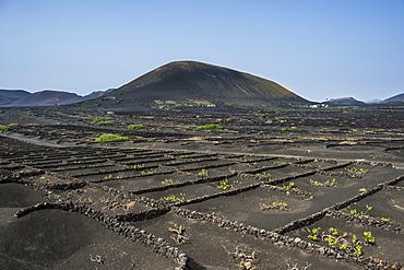 La Geria vineyards in the lava sands of Lanzarote, Canary Islands, Spain, Atlantic, Europe