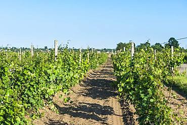 Vineyards in the Shabo winery, Black Sea, Ukraine, Europe