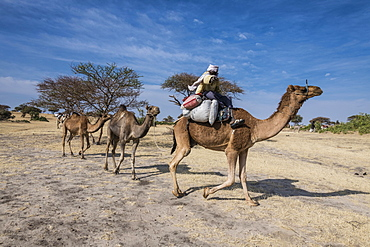 Camel Caravan between Faya-Largeau and N'Djamena, Chad, Africa