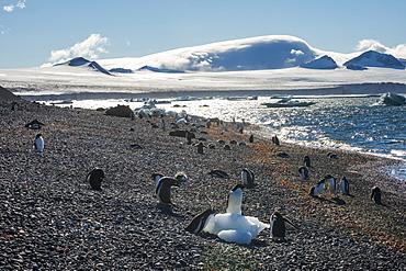 Adelie and gentoo penguins, Brown Bluff, Tabarin Peninsula, Antarctica, Polar Regions