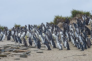 Magellanic penguin (Spheniscus magellanicus) colony, Carcass Island, West Falklands, Falkland Islands, South America