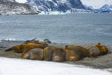 Southern elephant seal colony (Mirounga leonina), Coronation Island, South Orkney Islands, Antarctica, Polar Regions