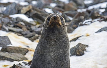 Antarctic fur seal (Arctocephalus gazella), Coronation Island, South Orkney Islands, Antarctica, Polar Regions