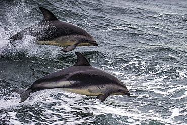 Dusky dolphin (Lagenorhynchus obscurus) jumping, Beagle Channel, Tierra del Fuego, Argentina, South America