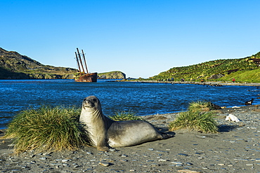 The southern elephant seal (Mirounga leonina) in front of an old whaling boat, Ocean Harbour, South Georgia, Antarctica, Polar Regions