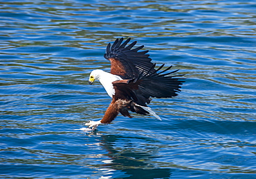 African fish eagle (Haliaeetus vocifer) hunting fish, Cape Maclear, Lake Malawi, Malawi, Africa