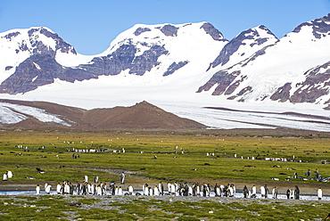 Giant king penguin (Aptenodytes patagonicus) colony, Salisbury Plain, South Georgia, Antarctica, Polar Regions
